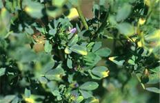 Oriental Leafhopper Damage