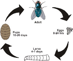 Long Legged Fly Lifecycle