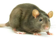 Marsh Rice Rat