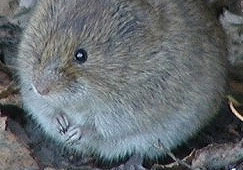 Meadow Vole