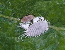 Mealybugs