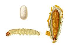 Mediterranean Flour Moths
