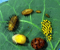 Mexican Bean Beetle lifecycle