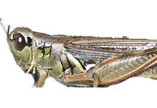 Migratory Grasshopper