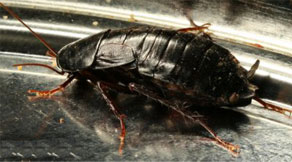 Black Mississippi Cockroach