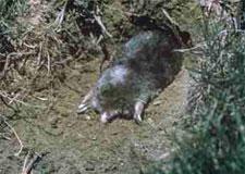 Moles Control