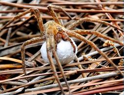 Fishing Nursery Web Spider