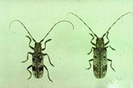 White Oak Borer Beetle