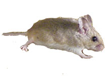 Oldfield Mouse