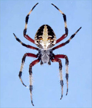 Sheet Web Weavers spider