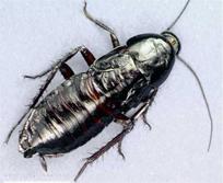 oriental_cockroach elimination
