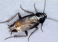 oriental_cockroach