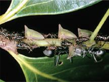 Oriental Leafhopper Nymphs
