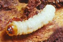 Peachtree Borer Larvae