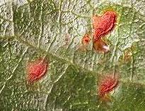 Pear Slug