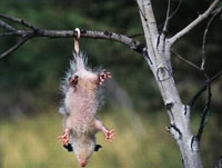 possum-hanging by its Tail