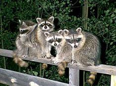 raccoons-climbing