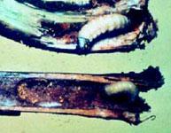 Raspberry Crown Borer Larvae