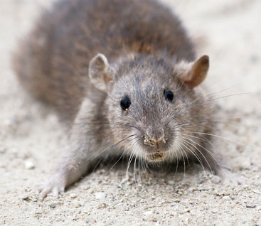 Rat Infestation, Nasty rat, how to get rid of rats