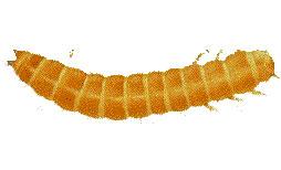 Red Flour Beetles Larvae