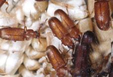 Red Flour Beetles