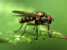 Root Maggot Fly