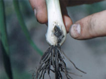 Root Maggot