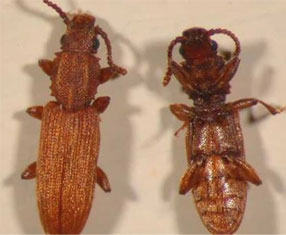 Foreign Grain Beetle larva