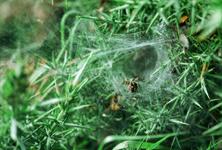 Sheet Web Weavers