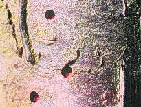 Shothole Borers