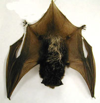 Silver-haired Bat