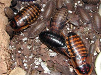South American Cockroaches