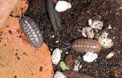 sow bugs, pillbugs