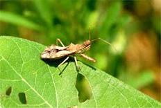 Spined Assassin Bug