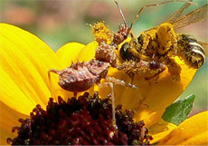 Spined Assassin Bug with Food