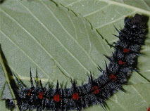 Spiny Elm Caterpillar