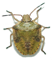 Stink bugs, how to get rid of stink bugs in houses