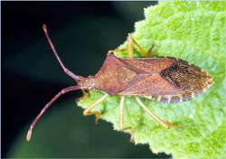 Stink bugs, how to get rid of stink bugs