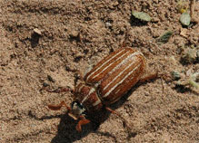 Tenlined June beetle