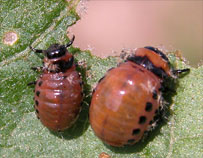 Three Lined Potato Beetle