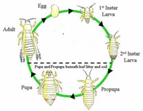 Thrips lifecycle