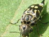 Tumbling Flower beetles