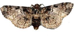 Unidentified Pyralid Moths