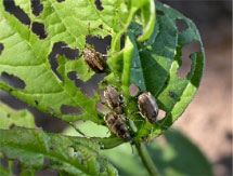 Viburnum Leaf Beetles