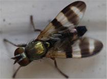 Walnut husk fly