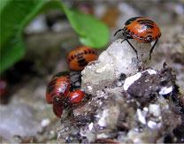 White Margined Burrowing Bug nymphs