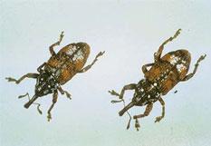 White Pine Weevils
