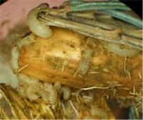 White Pine Weevil larvae