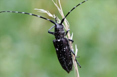 Whitespotted Sawyer Beetle