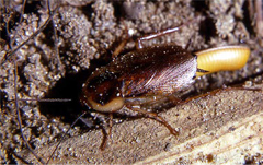 Wood cockroach elimination